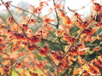 Vårvinterns blommande växter del 2